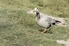 Bar - headed goose walking up a sloped gras bank. Bar - headed goose walking up a sloped grass bank with wild grass Royalty Free Stock Image