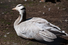 Bar-headed goose (Anser indicus). Royalty Free Stock Photo