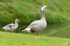 Bar-headed goose with young Chick Stock Photo
