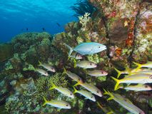 Bar jack with a school of yellow goatfish. Mixed school of fish with Caribbean reef and clear blue surface water in the background, Bonaire, Netherlands Antilles Royalty Free Stock Photos
