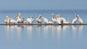 Bar of Pelicans Royalty Free Stock Photography
