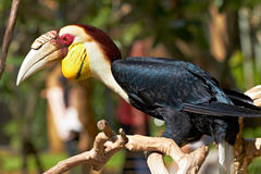 Bar-pouched Wreathed Hornbill in the nature Stock Images