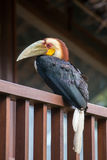 Bar-pouched Wreathed Hornbill toucan. Exotic bird Stock Image