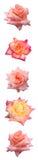 bar różę pionowe Obraz Stock