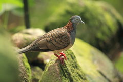 Bar-shouldered dove. The bar-shouldered dove sitting on the rock Royalty Free Stock Images