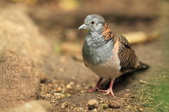Bar-shouldered dove. The bar-shouldered dove standing in the soil Stock Image