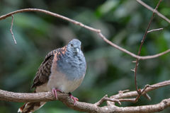 Bar-shouldered dove Stock Photography
