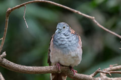 Bar-shouldered dove Royalty Free Stock Photo