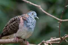 Bar-shouldered dove. On a branch Royalty Free Stock Images