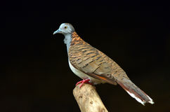 Bar-shouldered dove profile side view Stock Images