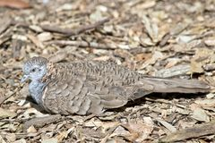 Bar shouldered dove. The bar shouldered dove is resting amongst the leaves Royalty Free Stock Images