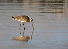 Bar-tailed godwit. Snipe with worm as spoils Stock Image