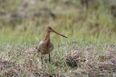 Bar-tailed godwit Stock Image