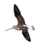 Bar-tailed godwit Royalty Free Stock Images