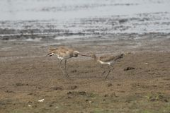 Bar-tailed Godwit.lacks wing-bar,has barred tail and stock photography