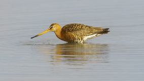 Bar-tailed Godwit Las Salinas San Fernando royalty free stock images