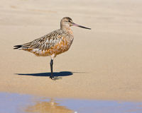 Bar-tailed Godwit  Limosa lapponica Royalty Free Stock Photos