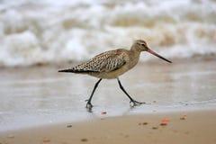 Bar-tailed Godwit Royalty Free Stock Photo