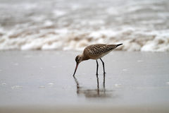 Bar-tailed Godwit Stock Photos
