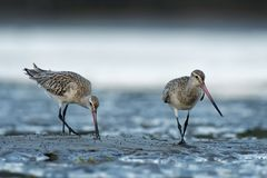 Free Bar-tailed Godwit - Limosa Lapponica  Large Wader, Scolopacidae, Breeds On Arctic Coasts And Tundra And Winters On Coasts In Royalty Free Stock Photo - 153832105