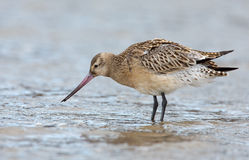 Bar-tailed Godwit (Limosa lapponica) Stock Images