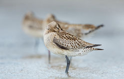 Bar-tailed Godwit (Limosa lapponica) Royalty Free Stock Photography