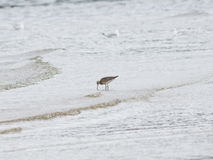 Bar-tailed Godwit, Limosa lapponica, walk at seashore, portrait, selective focus, shallow DOF Royalty Free Stock Images