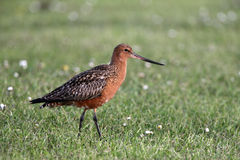 Bar-tailed godwit, Limosa lapponica Stock Photos