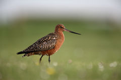 Bar-tailed godwit, Limosa lapponica Royalty Free Stock Photo