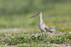 Bar-tailed Godwit Stock Photos