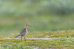 Bar-tailed Godwit Royalty Free Stock Photo