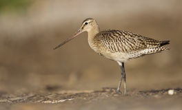 Bar-tailed Godwit Royalty Free Stock Image