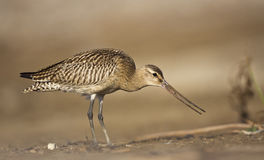 Bar-tailed Godwit. A bar-tailed godwit is looking right and feeding Stock Photos