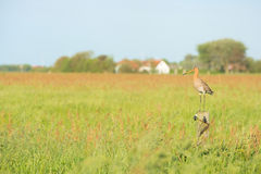 Bar-tailed godwit in meadows