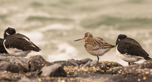 Bar-tailed Godwit among Oystercatchers Stock Photo
