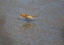 Bar Tailed Godwit Royalty Free Stock Photos