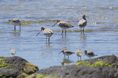 Bar-Tailed Godwits (Limosa Lapponica) Royalty Free Stock Images