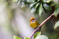 Bar-throated minla, Chestnut-tailed minla bird in nature Stock Photo