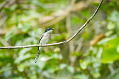 Bar-winged Flycatcher-shrike Royalty Free Stock Photography
