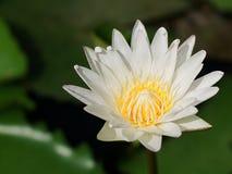 Bara blomman för vit lotusblomma i dammet arkivbild