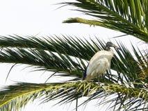 Bara den australiska vita ibisfågeln som sätta sig på palmträdet i New South Wales, Australien skog royaltyfri foto