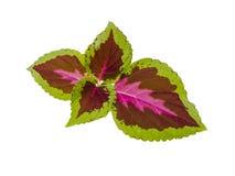 bara leaf Royaltyfria Foton