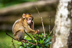 Barabary Macaque Royalty Free Stock Photos