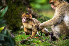 Barabary Macaque Stock Photo