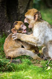 Barabary Macaque Royalty Free Stock Images