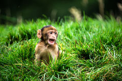 Barabary Macaque Royalty Free Stock Photography