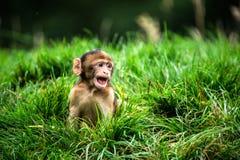 Barabary-Makaken Lizenzfreie Stockfotografie