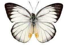 Baracasa blanc de Delias d'espèce de guindineau Images libres de droits