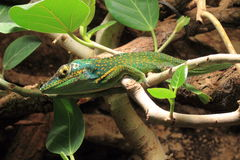 Baracoa anole Stock Photo