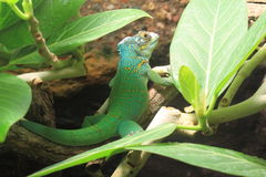 Baracoe anole Stock Photography